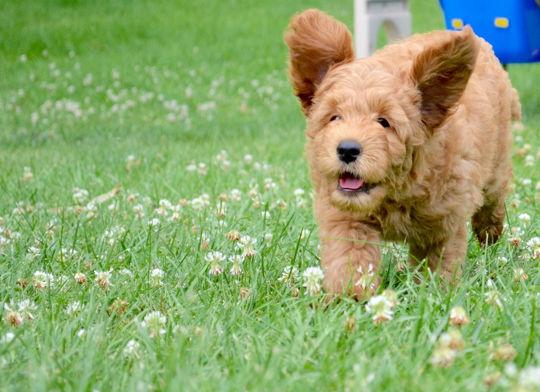 Puppy When To Introduce Other Dogs Before Vaccinations