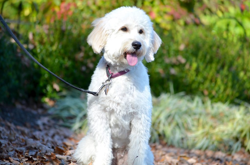 goldendoodle haircut pictures