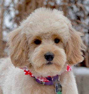Goldendoodle haircuts goldendoodle grooming timberidge goldendoodles timberidge goldendoodles grooming lamb cut winobraniefo Image collections