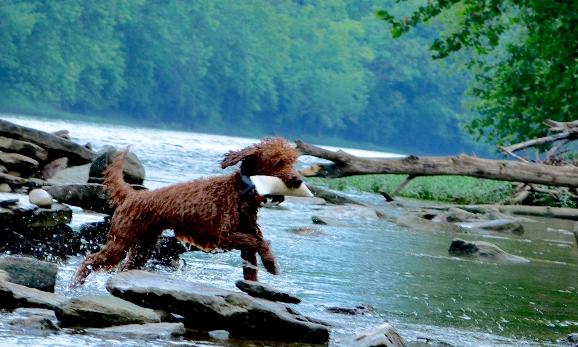 Goldendoodle health archives timberidge goldendoodles timberidge goldendoodles nvjuhfo Images