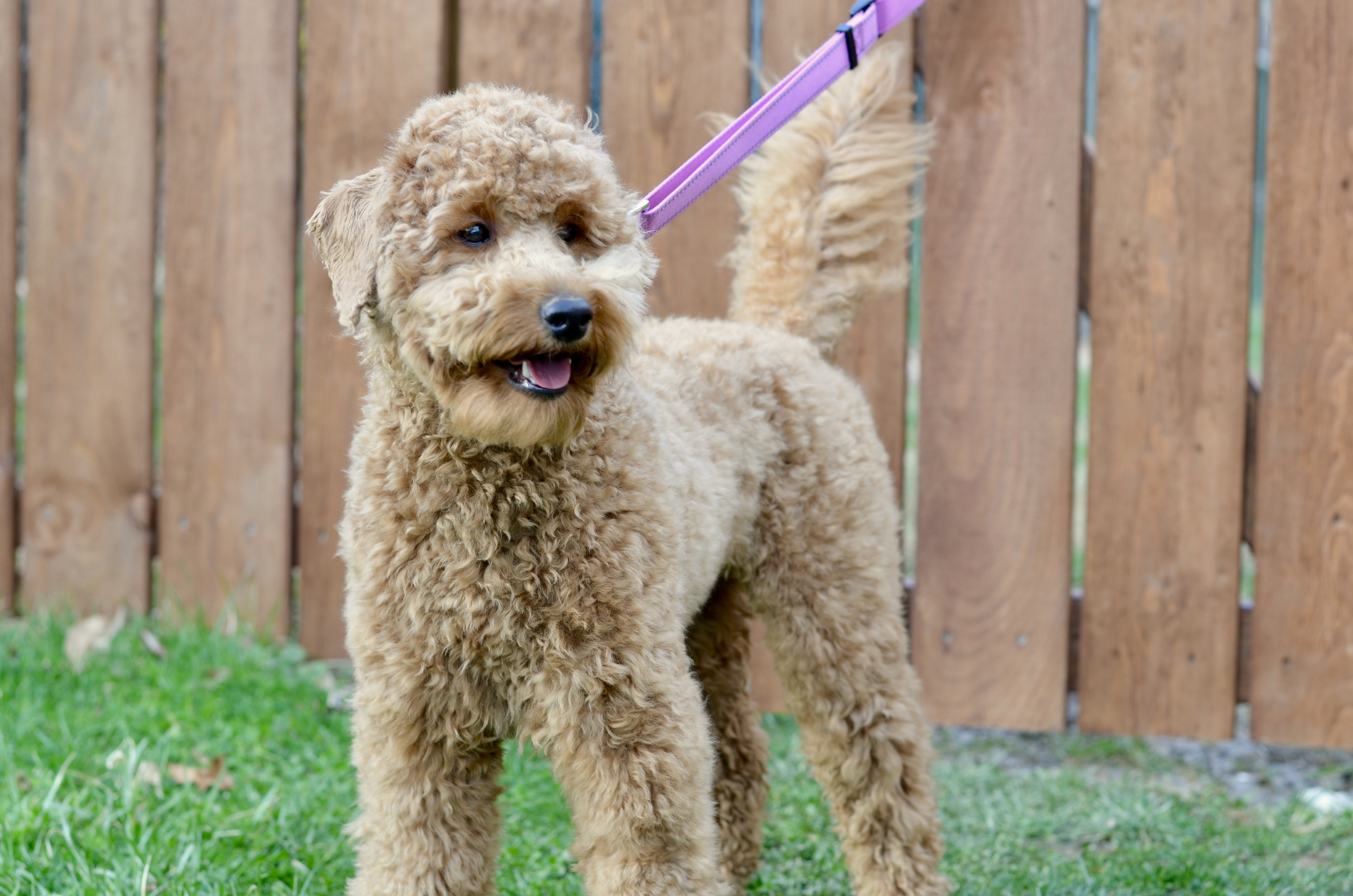 Goldendoodle Haircut Pictures Timberidge Goldendoodles