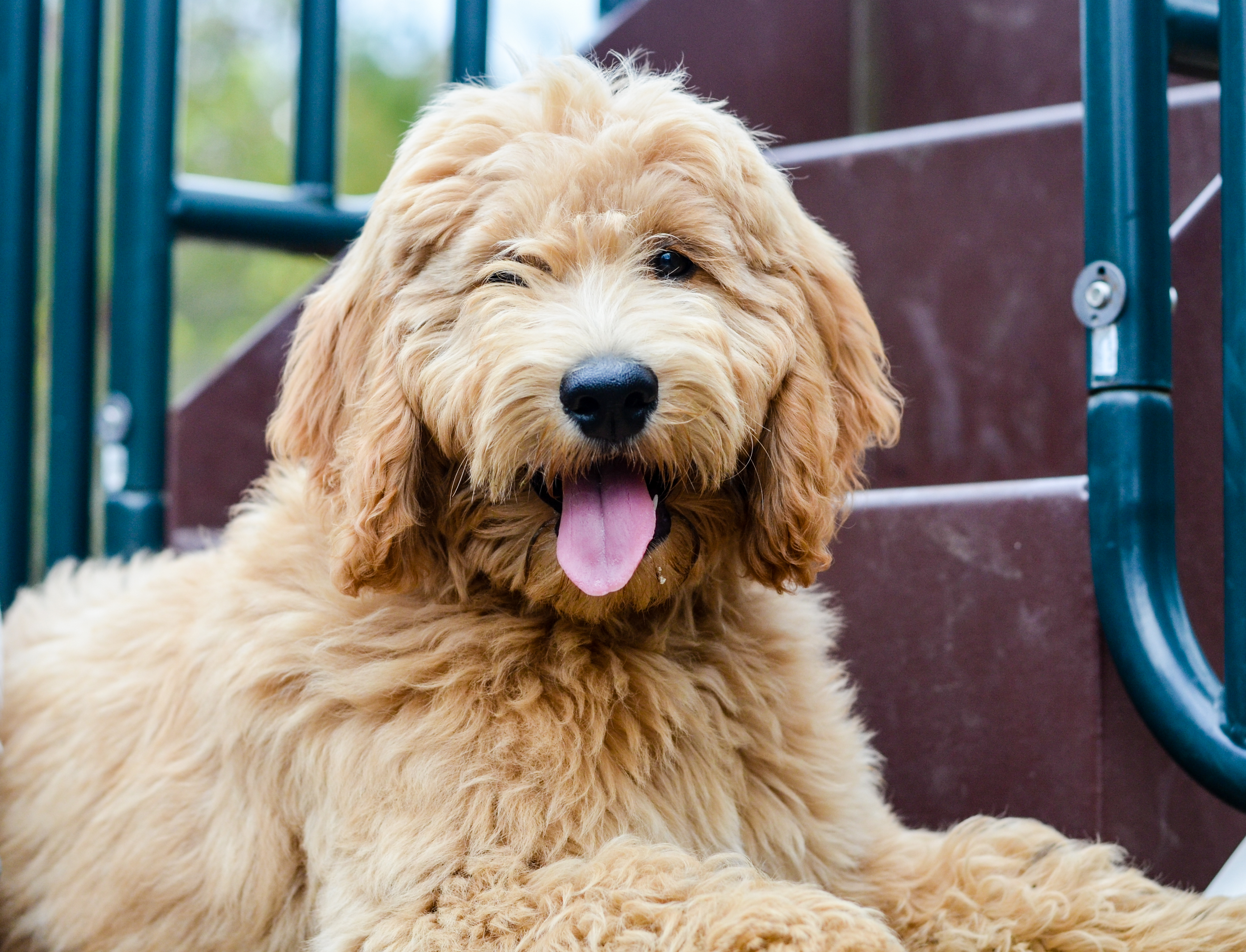 goldendoodle haircuts goldendoodle grooming timberidge how to groom a goldendoodle timberidge goldendoodles