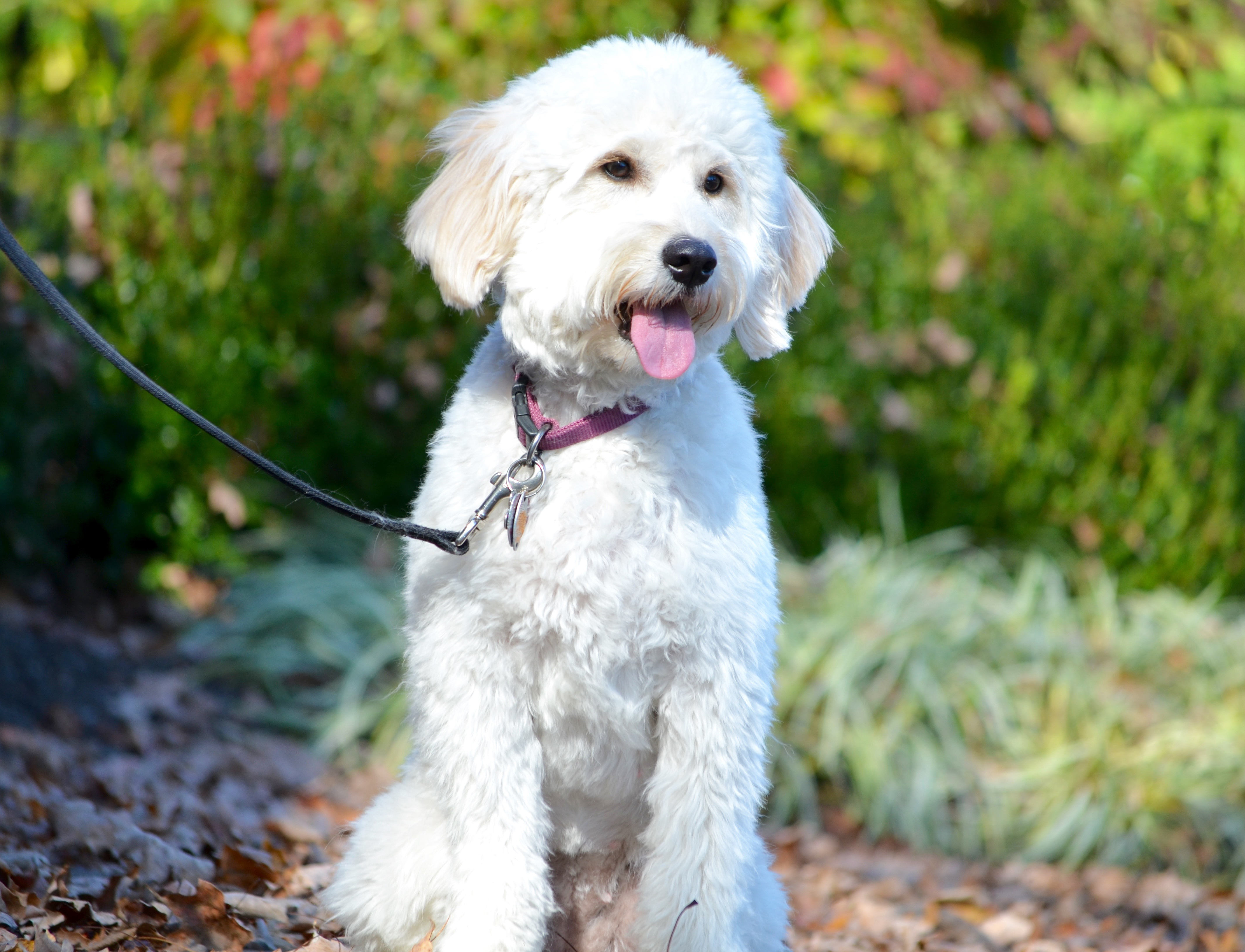 Goldendoodle growth curve timberidge goldendoodles goldendoodle haircuts grooming nvjuhfo Images