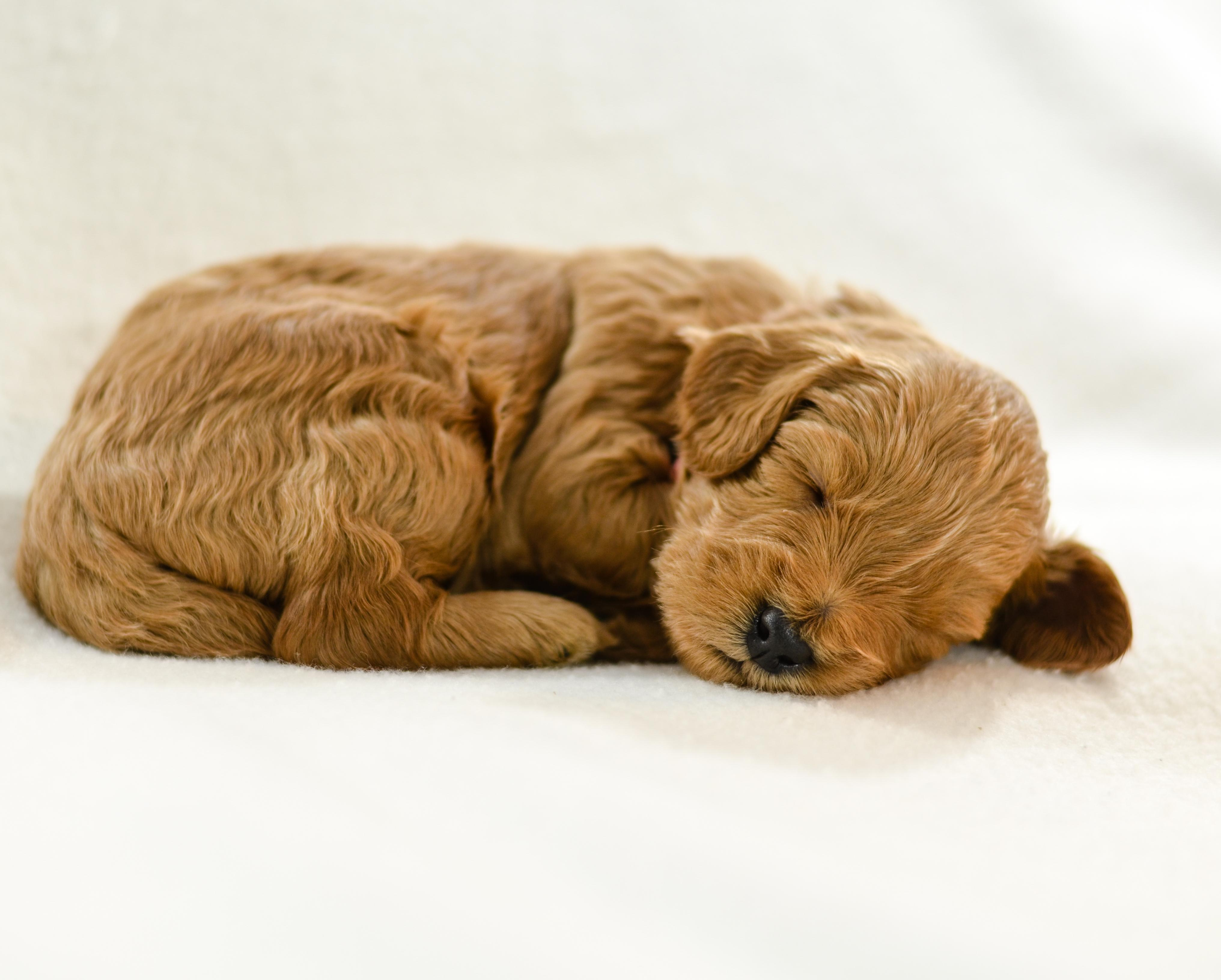 Blog archives timberidge goldendoodles at three weeks old these little ones have moved out of our bedroom and downstairs to the puppy pen where they will spend the remainder of their time with nvjuhfo Images