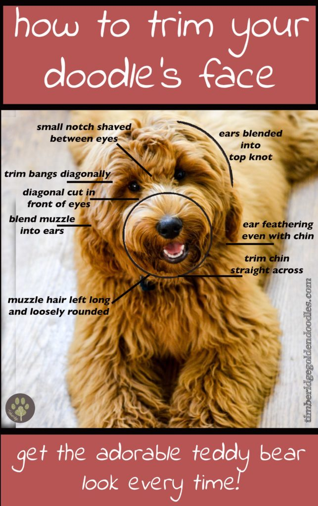 The Teddy Bear Goldendoodle Haircut Timberidge Goldendoodles