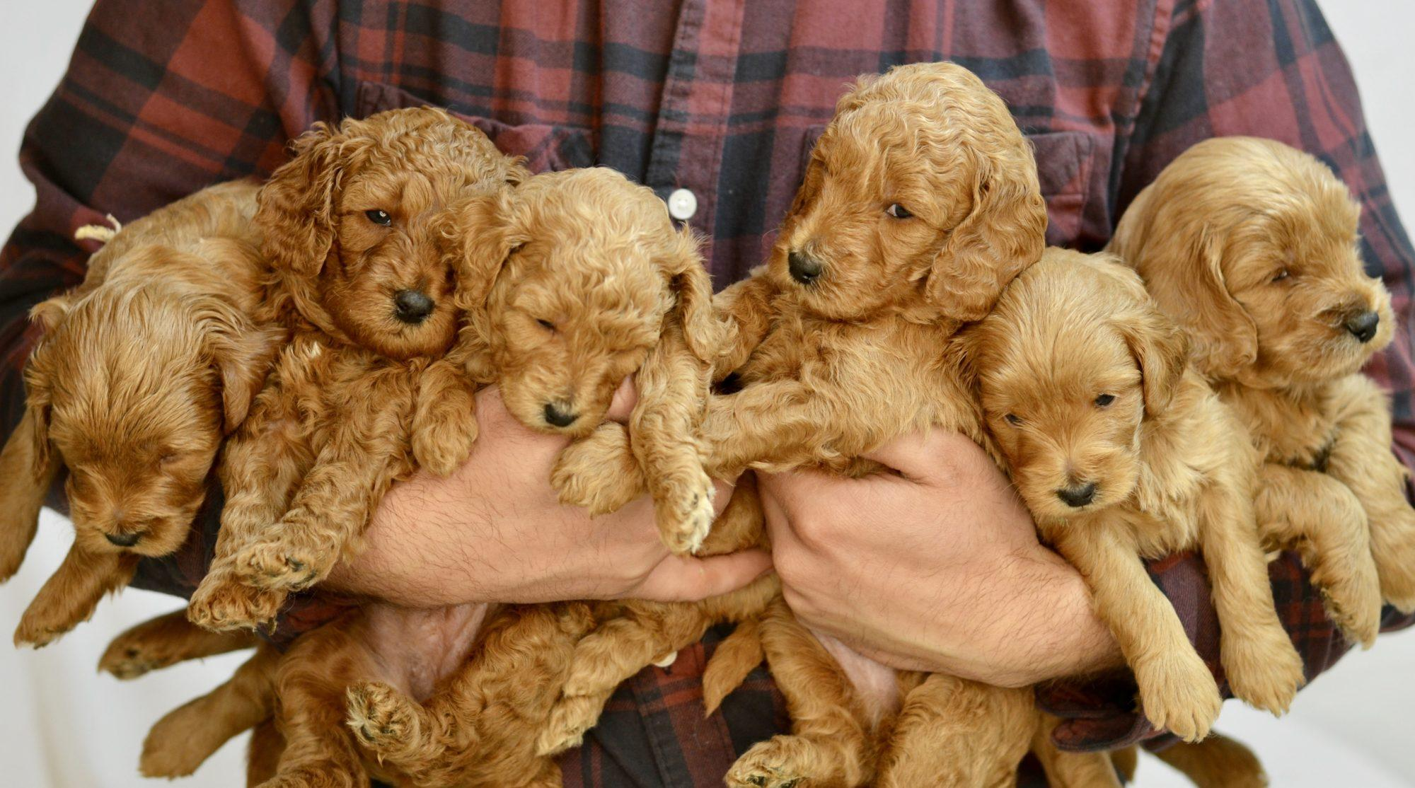 Qa With A Goldendoodle Groomer Timberidge Goldendoodles