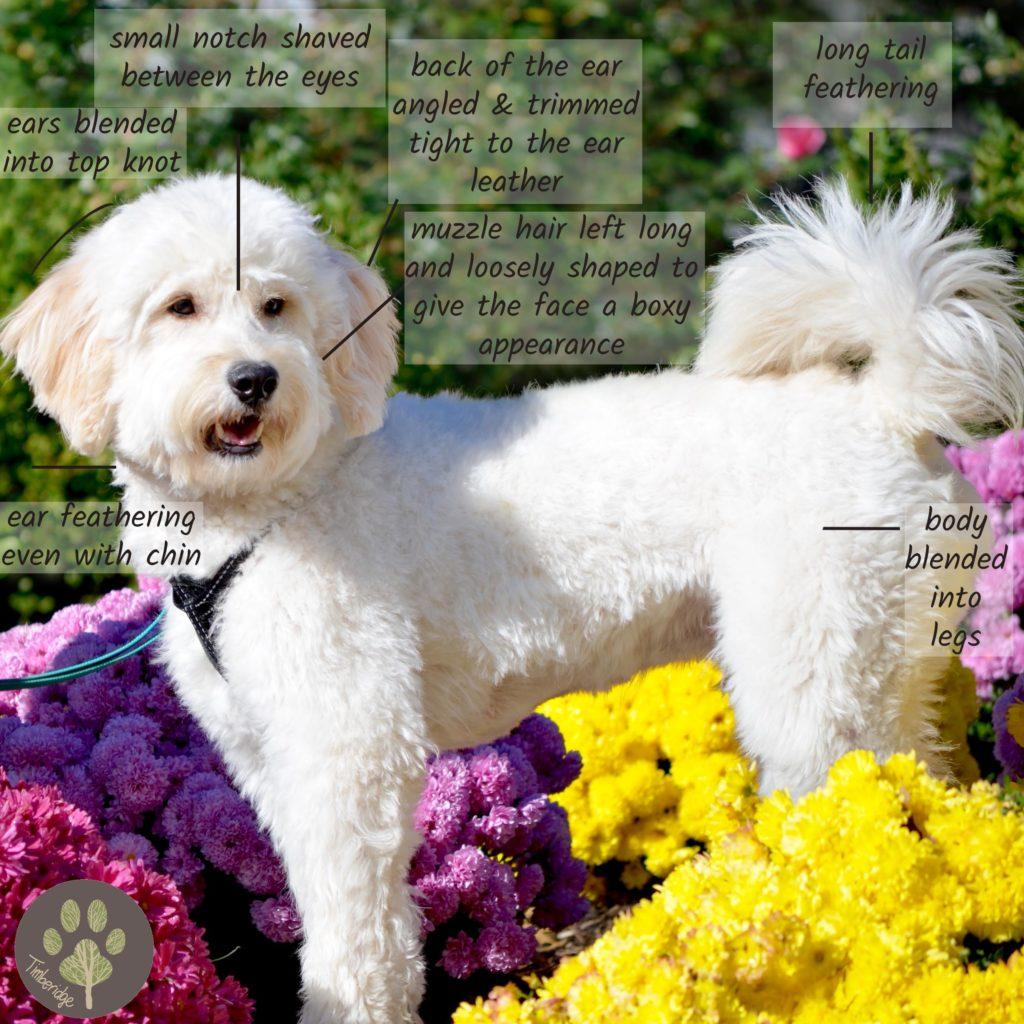 goldendoodle haircuts goldendoodle grooming timberidge goldendoodle haircut pictures timberidge goldendoodles