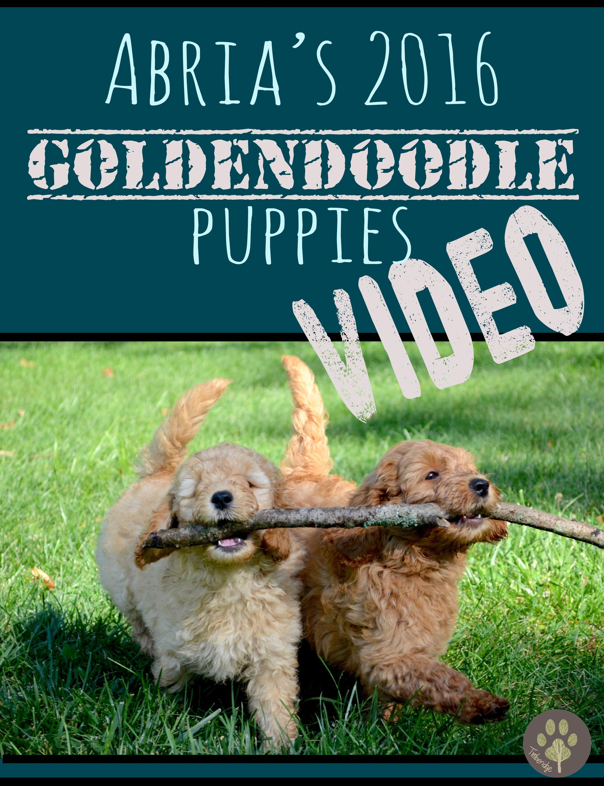 Puppy Video Abria S Miniature English Goldendoodle Puppies At 6 Weeks Old 2016 Timberidge Goldendoodles